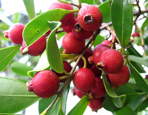 wound healing and guava leaves essay Plus, you can use guava leaves to cure toothaches, swollen gums and oral ulcers you can also use the twigs of guava trees like a toothbrush or as a chewing stick for.